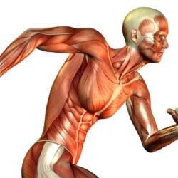 Muscle-fibers